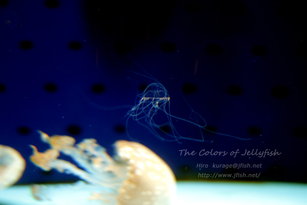 ギヤマンクラゲとタコクラゲの共存