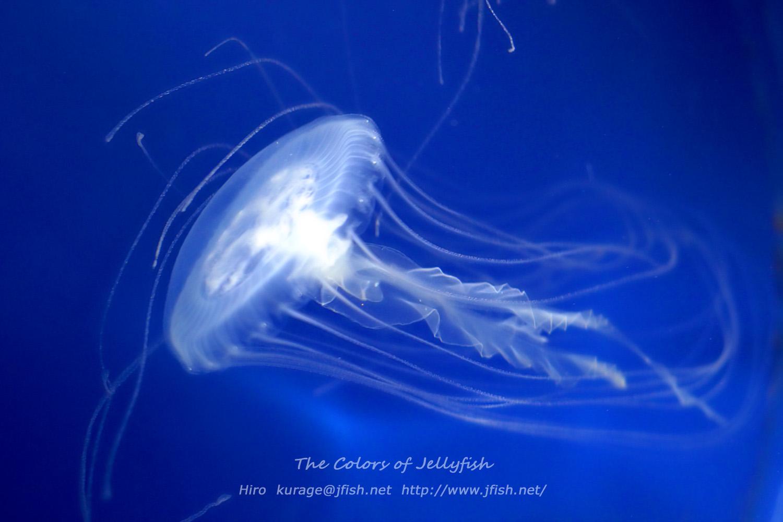 クラゲの画像 p1_34
